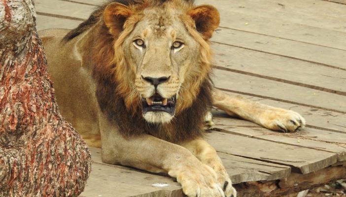A lion lying on a wooden platform
